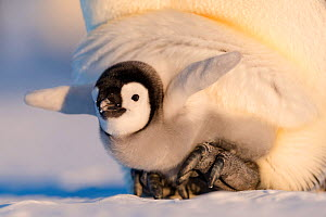 Emperor penguin (Aptenodytes forsteri) chick aged six to eight weeks stretching wings whilst sheltering on parent's feet. Atka Bay, Antarctica. September.  -  Stefan Christmann