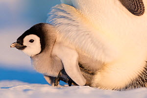 Emperor penguin (Aptenodytes forsteri) chick aged six to eight weeks sheltering on parent's feet, portrait. Atka Bay, Antarctica. September.  -  Stefan Christmann