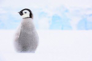 Emperor penguin (Aptenodytes forsteri) chick aged two months alone on sea ice whilst parents fish. Atka Bay, Antarctica. September.  -  Stefan Christmann