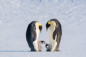 Emperor penguin (Aptenodytes forsteri), two adults brooding chicks. One chick exhibiting aggression towards other. Atka Bay, Antarctica. September. - Stefan Christmann