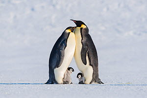 Emperor penguin (Aptenodytes forsteri), two adults brooding chicks. Atka Bay, Antarctica. September. - Stefan Christmann