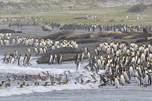 Colonies of King penguins (Aptenodytes patagonicus) and Southern Elephant Seals (Mirounga leonina) on beach at St. Andrews Bay, South Georgia. November.  -  Alex  Hyde