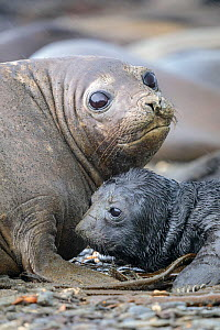Southern Elephant Seals (Mirounga leonina) pup with mother. King Haakon Bay, South Georgia. November. - Alex  Hyde