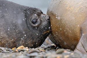 Southern Elephant Seal pup (Mirounga leonina) suckling from mother in snow storm. King Haakon Bay, South Georgia. November. - Alex  Hyde