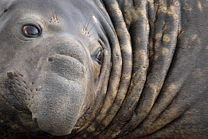 Southern Elephant Seal bull (Mirounga leonina) close up portrait, King Haakon Bay, South Georgia. November. - Alex  Hyde