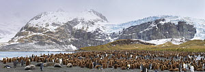 Colonies of King penguins (Aptenodytes patagonicus) and Southern Elephant Seals (Mirounga leonina) on beach. Digitally stitched panormaic image. Gold Harbour, South Georgia. November.  -  Alex  Hyde