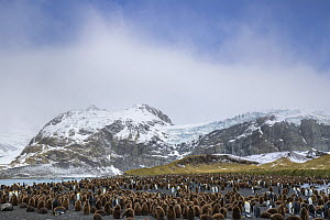 Colonies of King penguins (Aptenodytes patagonicus) and Southern Elephant Seals (Mirounga leonina) on beach at Gold Harbour, South Georgia. November.  -  Alex  Hyde
