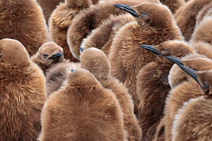King penguin (Aptenodytes patagonicus)fluffy brown chicks, Gold Harbour, South Georgia. November.  -  Alex  Hyde