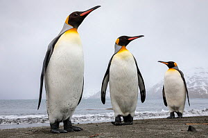 King penguins (Aptenodytes patagonicus) group of three on the shore, St. Andrews Bay, South Georgia. November.  -  Alex  Hyde