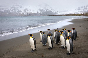 King penguins (Aptenodytes patagonicus). St. Andrews Bay, South Georgia. November.  -  Alex  Hyde