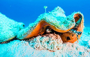 Queen conch (Lobatus gigas) laying eggs in the Exuma Cays Land and Sea Park, Exuma, Bahamas. - Shane Gross