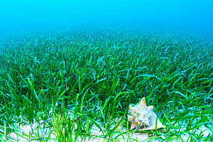 Queen conch (Lobatus gigas) feeding on the algae growing on seagrass (Thalassia testudinum) Exuma, Bahamas - Shane Gross