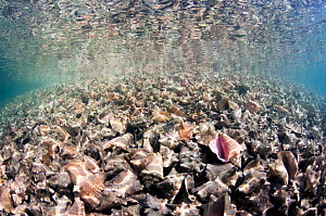 Massive pile of queen conch (Lobatus gigas) shells, called a midden, in The Bahamas. - Shane Gross