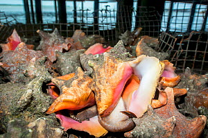 Queen conch (Lobatus gigas) harvested by fisherman, The Bahamas. - Shane Gross
