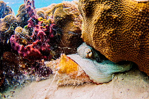 Common octopus (Octopus vulgaris) feeding on a queen conch (Lobatus gigas) in The Bahamas. - Shane Gross