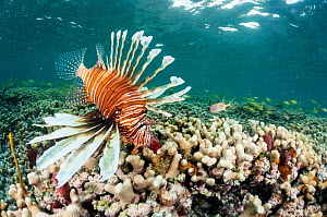 Lionfish (Pterois volitans) over coral in The Bahamas. Invasive species.  -  Shane Gross