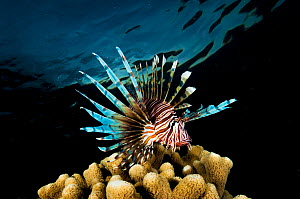 Lionfish (Pterois volitans) over coral at night in The Bahamas. Invasive species.  -  Shane Gross