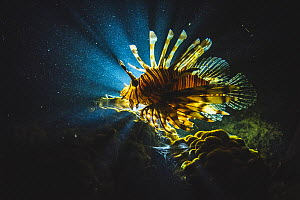 An invasive lionfish (Pterois volitans) hunting at night off Eleuthera Island, Bahamas.  -  Shane Gross