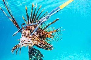 Invasive lionfish (Pterois volitans) on the end of a spear. Florida, USA. February 2018. In order to keep their numbers low, scuba divers and snorkellers are encouraged to spear as many as possible. - Shane Gross
