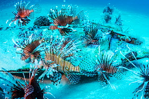 Invasive Lionfish (Pterois volitans) which have taken over and are wiping out native fish in the Atlantic ocean. The highest densities are in the northern gulf of Mexico. Destin, Florida, USA.  -  Shane Gross