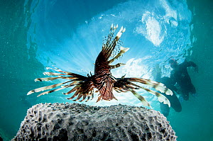 An invasive Lionfish (Pterois volitans) and tourist snorkelers, The Bahamas.  -  Shane Gross