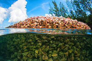 Massive pile of Queen conch (Lobatus gigas) shells, called a midden, in the water of Eleuthera, Bahamas. - Shane Gross
