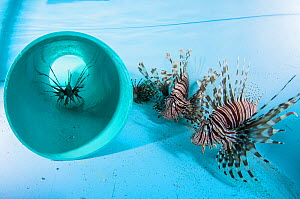 Invasive lionfish (Pterois volitans) in a lab tank to be studied by researchers. Bahamas, September 2015.  -  Shane Gross