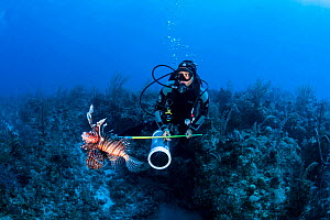 A scuba diver spears an invasive lionfish (Pterois volitans) off Grand Bahama Island, Bahamas. Spearing is illegal in The Bahamas, however, a special exemption was made for lionfish.  -  Shane Gross