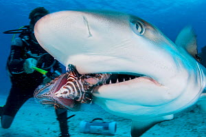 An invasive lionfish (Pterois volitans) is fed to a Caribbean reef shark (Carcharhinus perezi) off Grand Bahama Island, Bahamas. It was once thought sharks could be trianed to feed on lionfish by feed...  -  Shane Gross