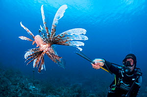 Scuba diver spears and invasive lionfish (Pterois volitans) off Grand Bahama Island, Bahamas. Spearing is illegal in The Bahamas, however, a special exemption was made for lionfish.  -  Shane Gross