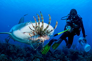 Scuba diver feeds an invasive lionfish (Pterois volitans) to a Caribbean reef shark (Carcharhinus perezi) off Grand Bahama Island, Bahamas. It was once thought that if the sharks learned that lionfish...  -  Shane Gross