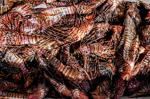 Lionfish (Pterois volitans) caught in a Lionfish derby, a competition to catch invasive Lionfish (Pterois volitans). One team caught 466 lionfish in a single day during the Green Turtle Cay, Bahamas,...  -  Shane Gross