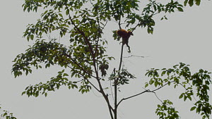 Infant Sumatran orangutan (Pongo abelii) separated from mother and isolated in tree for capture, breaks a branch to drop on the immobilisation team, part of a relocation programme, Sei Serdang, Prima,... - Jabruson Motion