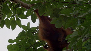 Conservation worker darting a female Sumatran orangutan (Pongo abelii) in a tree with anaesthetic, part of a relocation programme, Sei Serdang, Prima, Batang Serangan, Langkat, North Sumatra, Indonesi... - Jabruson Motion