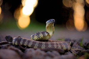 Eastern tiger snake (Notechis scutatus / ater) with bokeh affect, Australia. - Robert Valentic