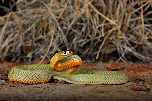 Hatchling female Inland Taipan (Oxyuranus microlepidotus) captive bred, (parents from Goyder's Lagoon in South Australia). . - Robert Valentic
