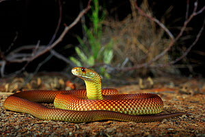 King Brown Snake (Pseudechis australis) male animal sub-adult near the town of St George in inland Queensland, Australia. - Robert Valentic