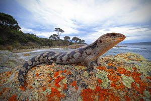Lowland blotched blue-tongue (Tiliqua nigrolutea) on a coastal bluff in the Bay of Fires region of north-eastern Tasmania, Australia, spring.  -  Robert Valentic