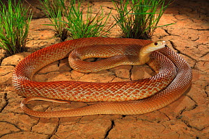 Coastal taipan (Oxyuranus scutellatus) tasting air, Julatten, north Queensland, Australia,  -  Robert Valentic