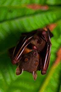 Short-nosed fruit-bat (Cynopterus brachyotis) roosting, Ko Chang Island, Thailand. - Robert Valentic