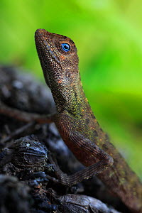 Earless agamid (Aphaniotis fusca) primary lowland rainforest, Tioman Island, Malaysia. - Robert Valentic