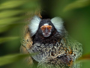 Common marmoset (Callithrix jacchus) portrait, captive, endemic to Brazil. With digitally added leaves.  -  Ernie  Janes