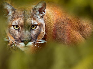 Cougar (Puma concolor) portrait, captive, occurs in the Americas. With digitally added leaves.  -  Ernie  Janes