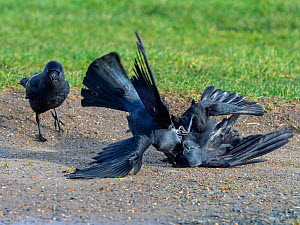 Jackdaw (Corvus monedula) fighting on farmland, Norfolk, England, UK, January. - Ernie  Janes