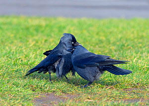 Jackdaws (Corvus monedula) pair preening each other, Norfolk, England, UK, January. - Ernie  Janes