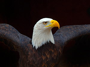RF - Bald eagle (Haliaeetus leucocephalus) portrait, captive, occurs in North America. (This image may be licensed either as rights managed or royalty free.)  -  Ernie  Janes