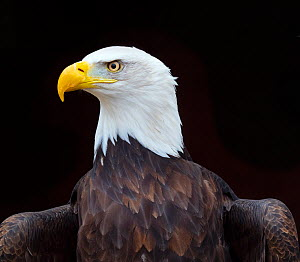 Bald eagle (Haliaeetus leucocephalus) portrait, captive, occurs in North America.  -  Ernie  Janes