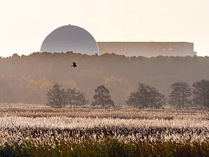 RSPB Minsmere and distant Marsh harrier (Circus aeruginosus) with Sizewell power station, Suffolk, UK, November. - Ernie  Janes