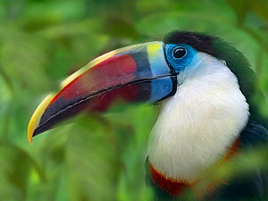 RF - White-throated toucan (Ramphastos tucanus) captive, occurs in South America, with digitally added leaves. (This image may be licensed either as rights managed or royalty free.)  -  Ernie  Janes