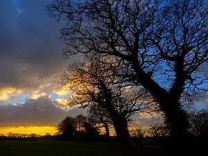 Oak trees (Quercus robur) winter afternoon Southrepps, Norfolk, England, UK, January.  -  Ernie  Janes